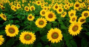 Sunflower facts